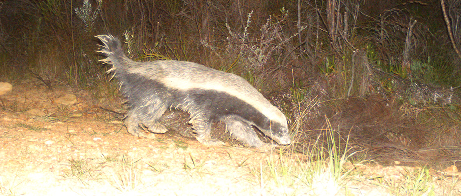 trees-for-tourism-farm-215-honey-badger