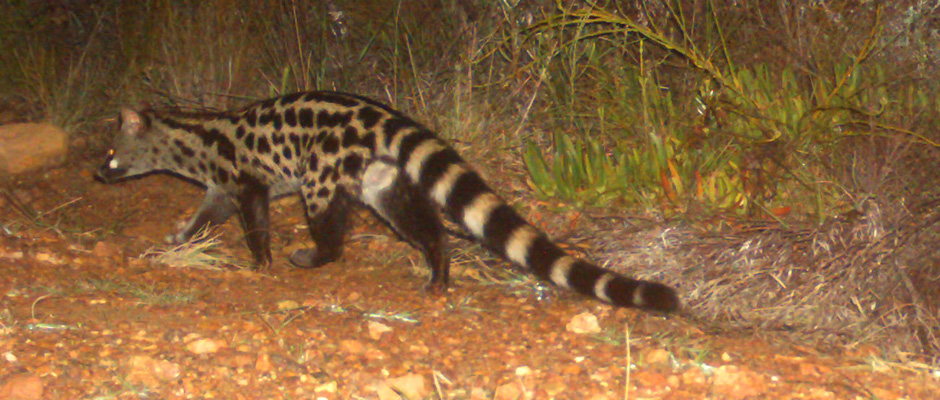 trees-for-tourism-farm-215-spotted-genet